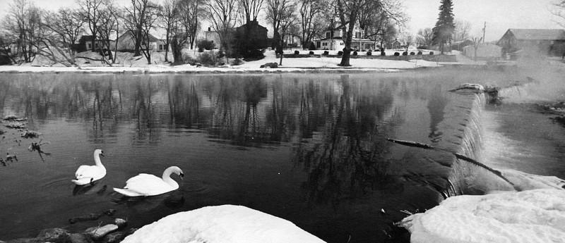 Two Swans swim in dam
